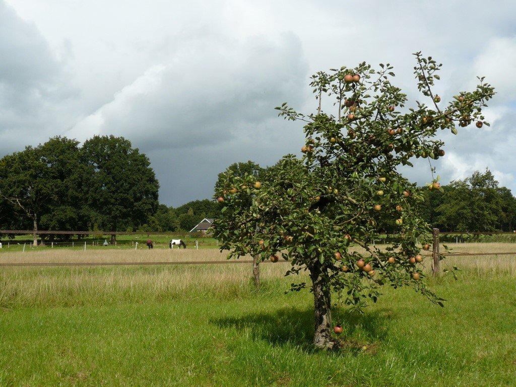 Appelboom Dijkmanszoet (1)
