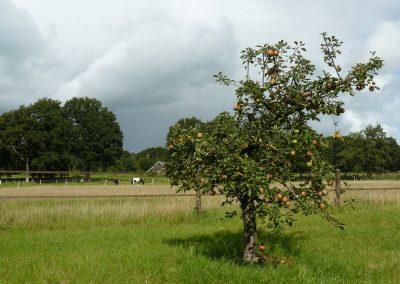 Halfstam appelboom