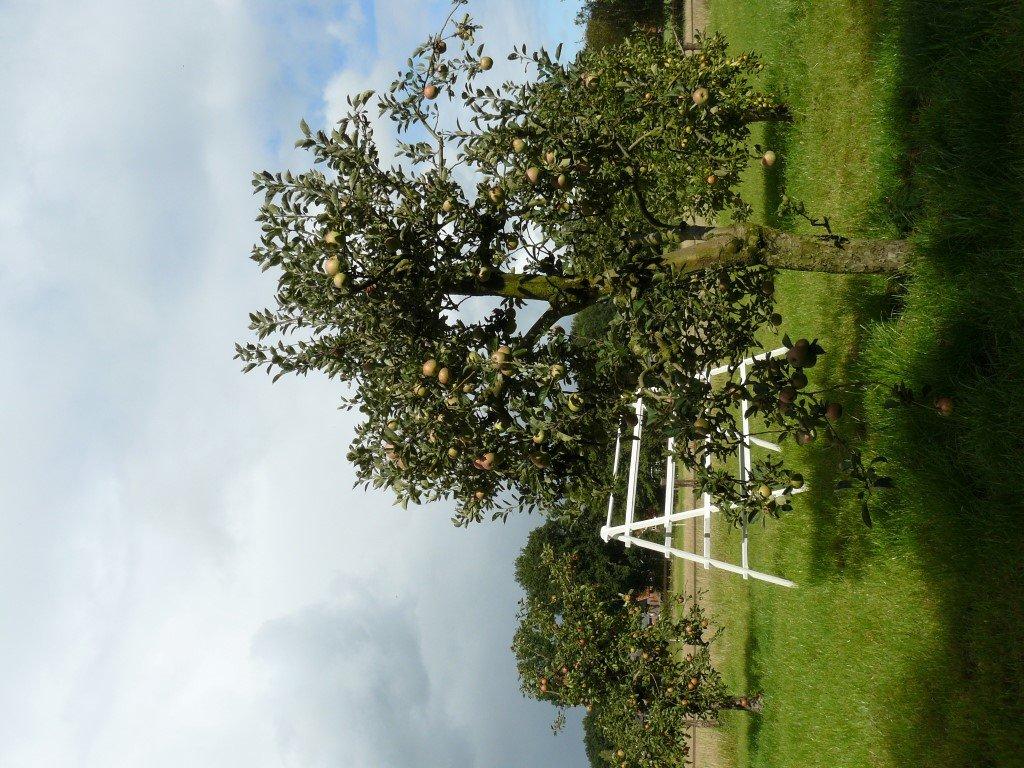 Appelboom Dijkmanszoet (3)