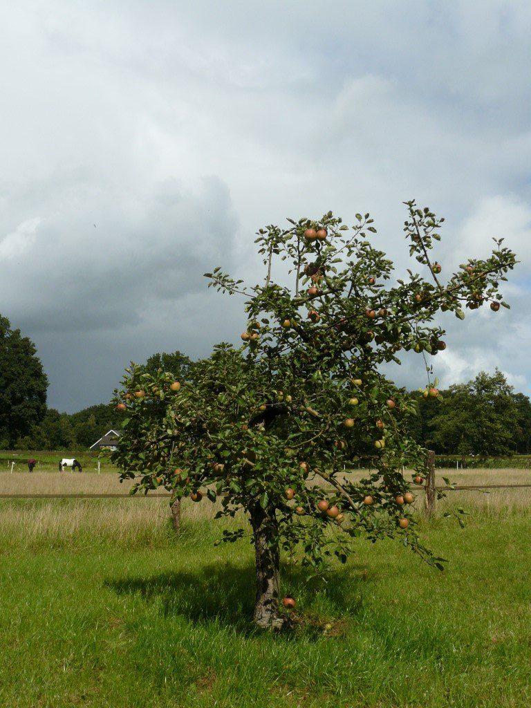 Appelboom Dijkmanszoet (4)