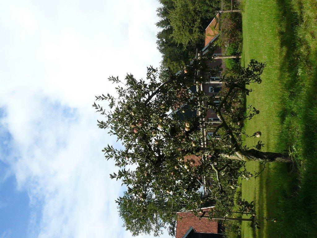 Appelboom Dijkmanszoet (5)