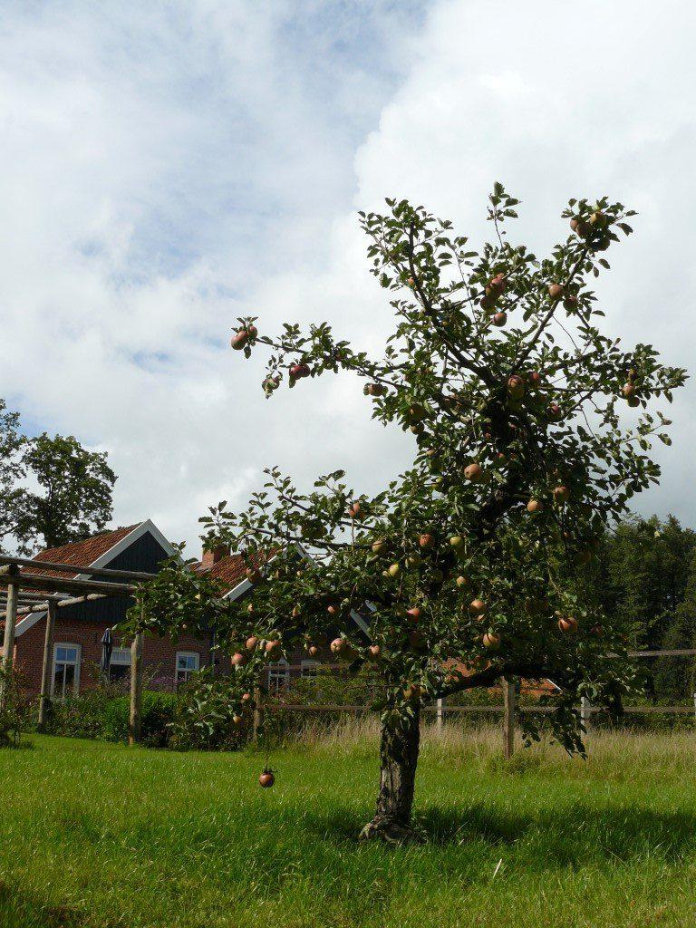 Appelboom Dijkmanszoet (6)