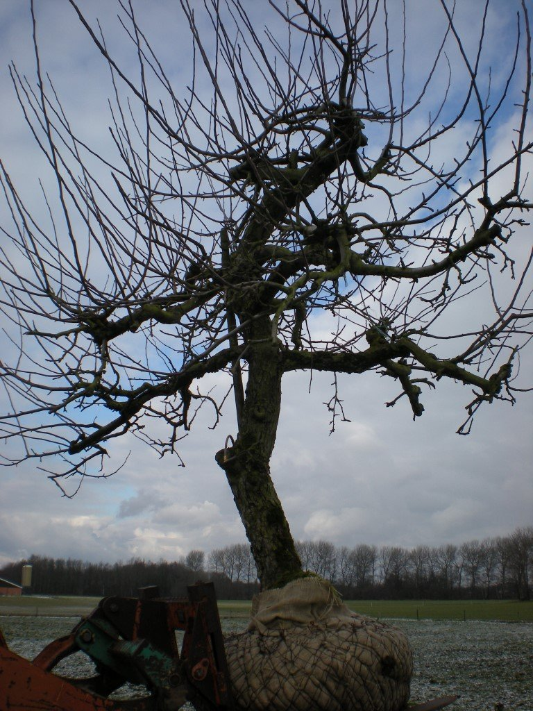 Appelboom Rode Boskoop (3)