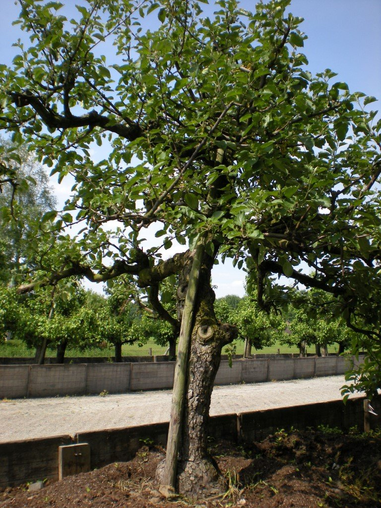 Appelboom Rode Boskoop (5)