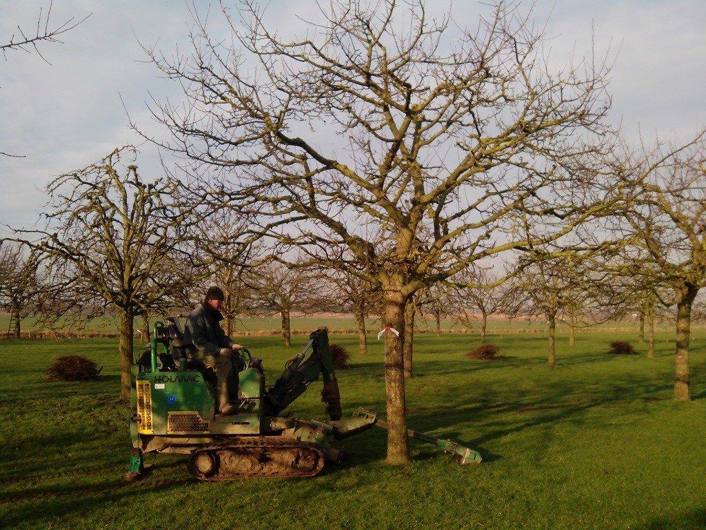 Hoogstam appelboom Goudreinet (1)