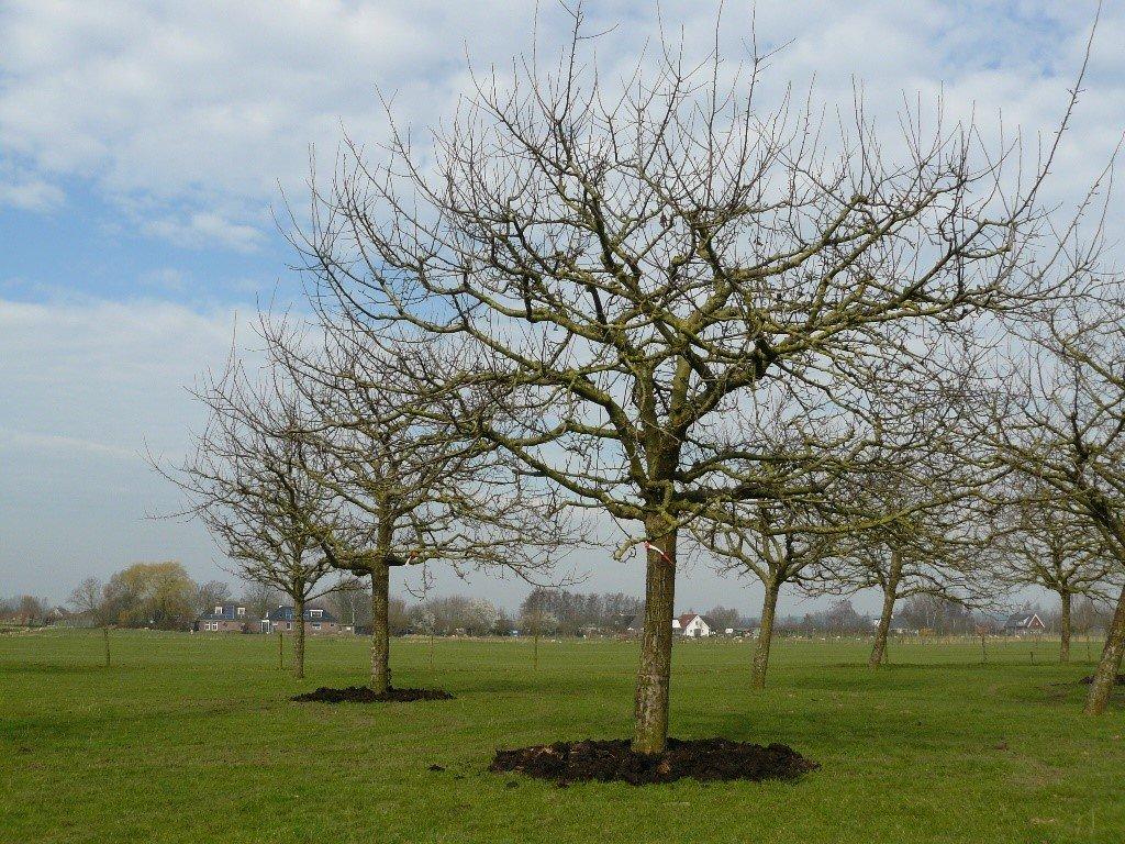 Hoogstam appelboom Goudreinet (2)