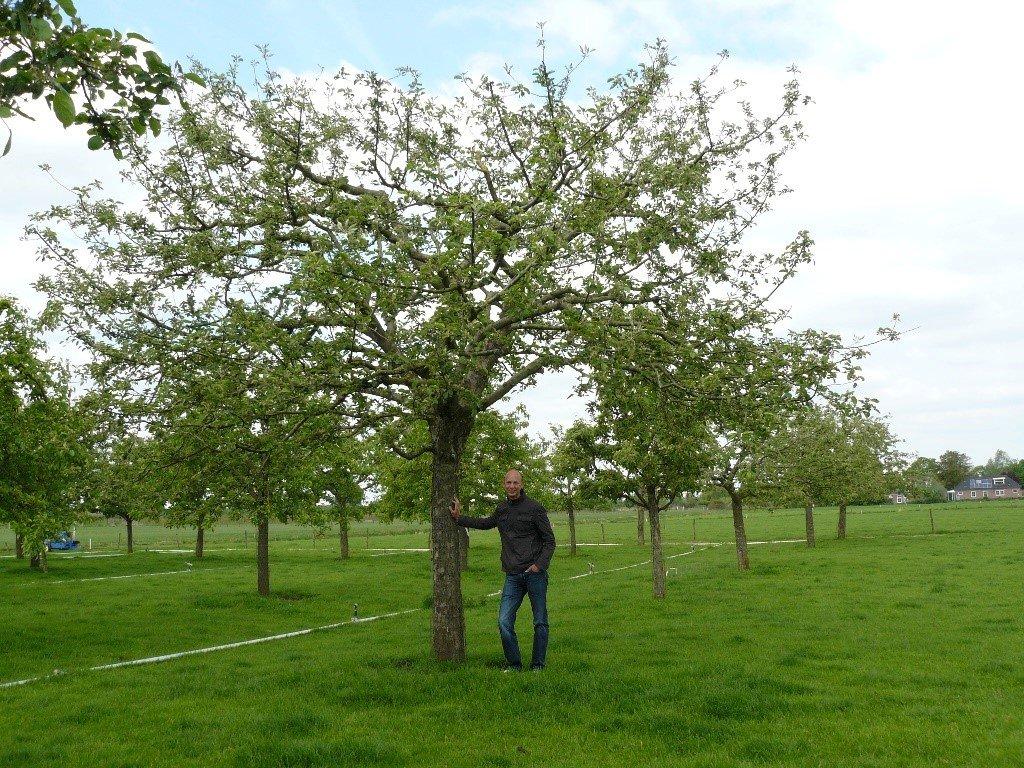 Hoogstam appelboom Goudreinet (3)