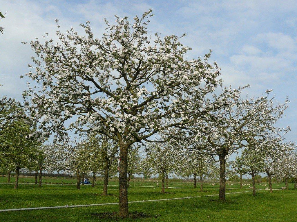 Hoogstam appelboom Goudreinet (5)