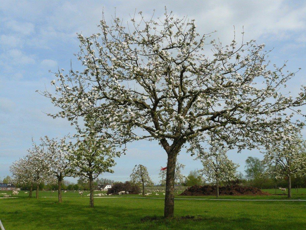 Hoogstam appelboom Goudreinet (6)