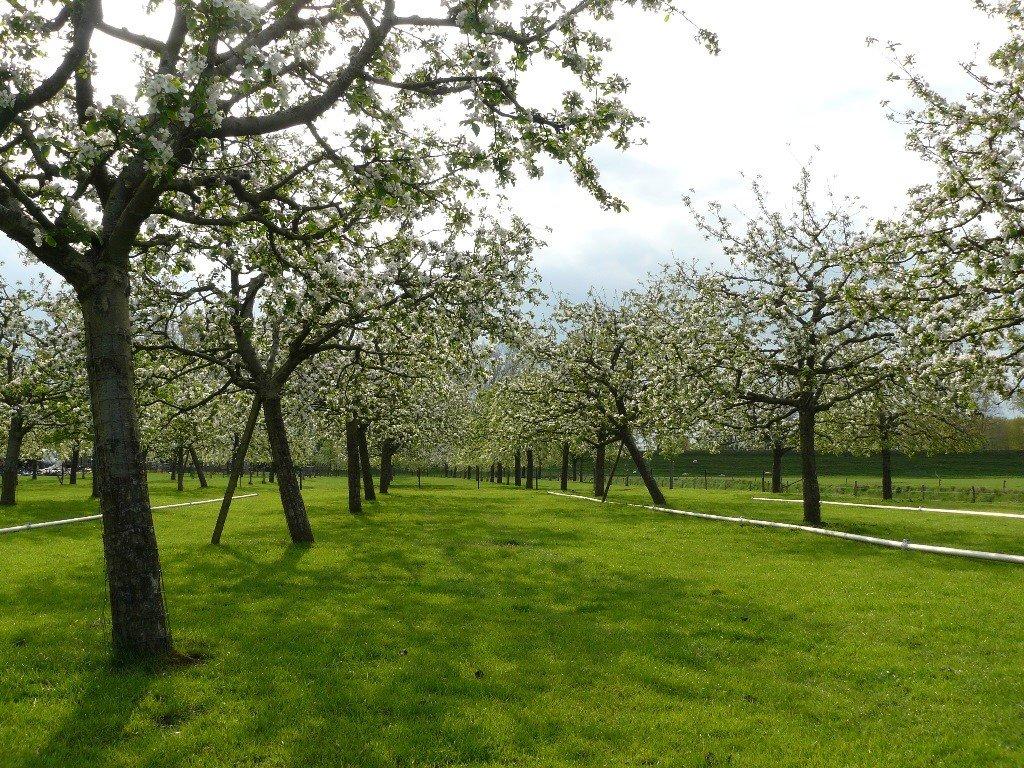 Hoogstam appelboom Goudreinet (7)