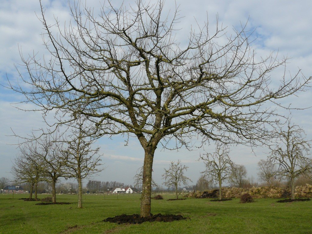 Hoogstam appelboom Goudreinet (8)