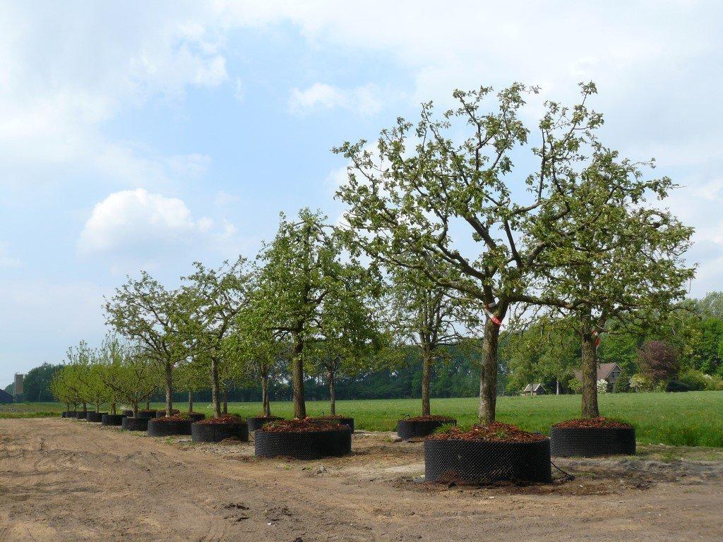 Hoogstam appelboom Goudreinet (9)