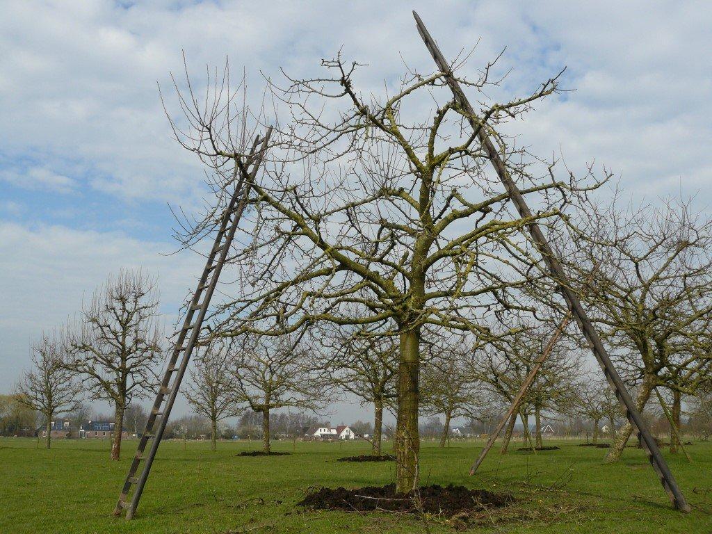 Hoogstam Appelboom Jonagold (1)