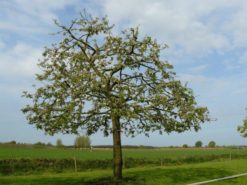 Hoogstam Appelboom Jonagold (3)