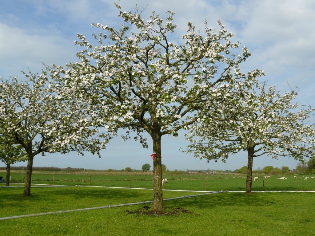 Hoogstam Appelboom Jonagold (4)