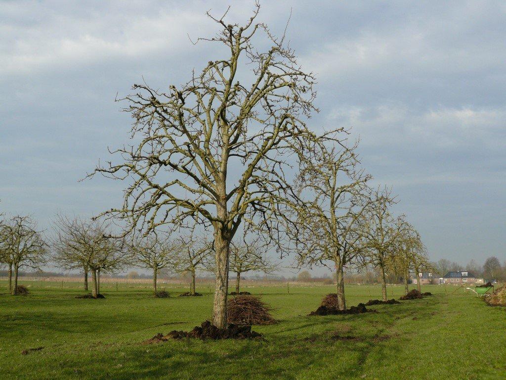 Hoogstam perenboom Clapps Favourite (5)
