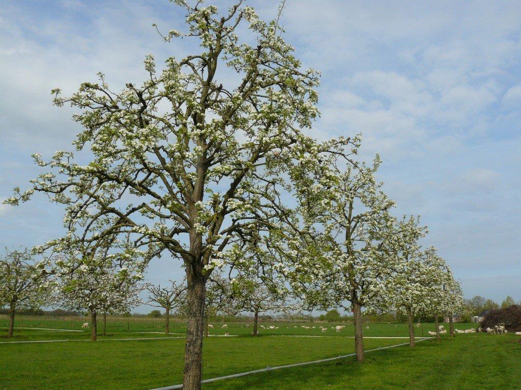 Hoogstam perenboom Clapps Favourite (6)