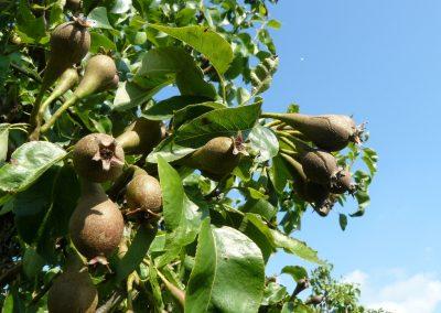 Vruchtdunnen